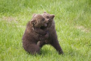 European Brown Bear playing cubs