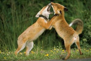 European Fox - fighting over food