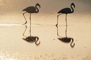 European Greater FLAMINGO - at sunset
