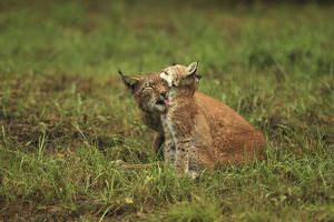 European Lynx - female cleaning young - controlled