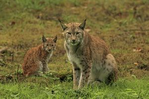 European Lynx - female with young - controlled conditions