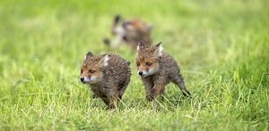 European Red Fox three cubs playing in meadow -