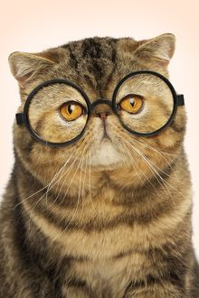 Exotic shorthair car wearing round glasses