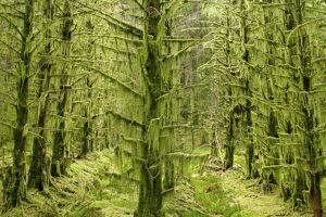 fairy forest - in straight lines planted timber forest thickly covered with long