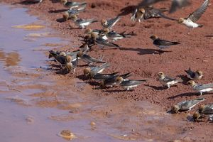 Fairy Martins - collecting mud to construct their