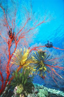 FEATHERSTAR / Crinoids - on a sea fan