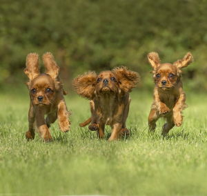 Fhree Cavalier King Charles Spaniel Dogs outdoors