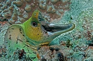 Fimbraited Moray - with mouth wide open