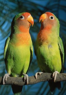 FischerOA³ / Peach-faced Lovebirds - Hybrid