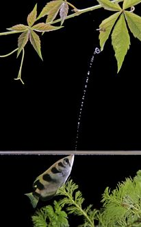 FISH - Archerfish, side view, shooting water at insect