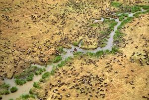 FL-3003 Aerial - Wildebeest on migration