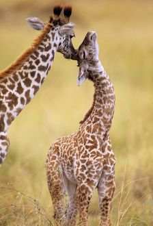 FL-3088 Maasai Giraffe - mother sucking young s ear