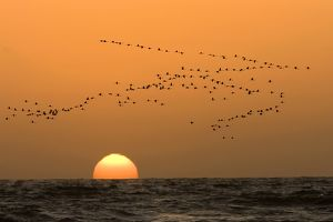 Flamingo Flock - In flight at sunset over the Atlantic