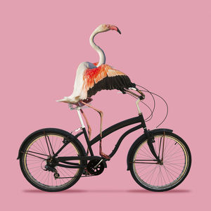 Flamingo, riding a bicycle on a pink background