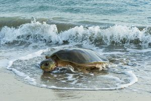Flatback Turtle - coming ashore to lay on Crab Island