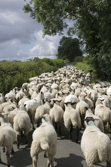 Flock of Masham sheep and lambs being driven down country road