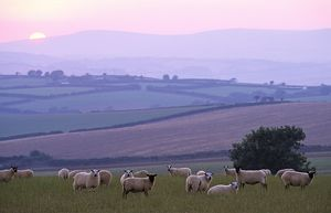 Flock of Sheep - at dusk,