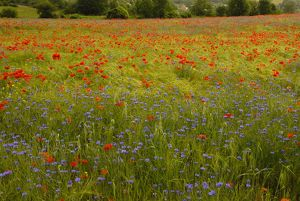 Flowers in meadow - Poppy and Cornflowers