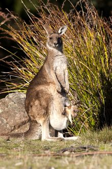 Forester / Eastern Grey Kangaroo - female with joey about to