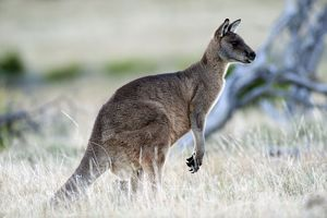 Forester / Eastern Grey Kangaroo - male - largest marsupial