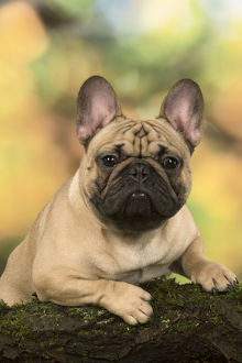 French Bulldog portrait outdoors with autumn colours