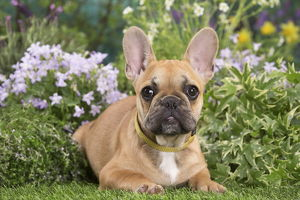 French Bulldog puppy outdoors
