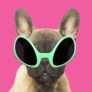 French Bulldog puppy wearing alien shaped sun glasses