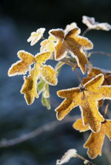 Frost on Sycamore leaves