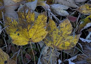 Frosted sycamore leaves
