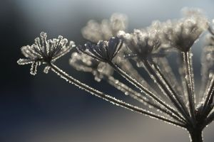 Frosted Wild Carrot - seedhead