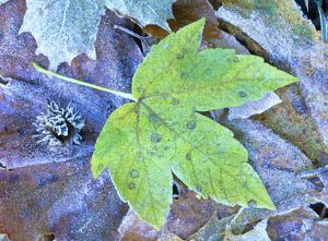 arty/frosty leaves autumn coloured maple leaf covered