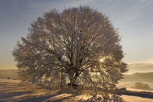 Frosty winter scenery - snow-covered landscape with the sun shining through the branches