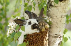 FRR-82 DOMESTIC RABBITS - x two in basket in tree