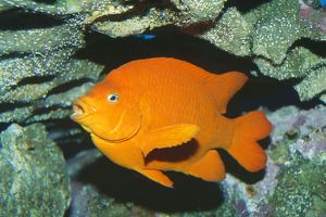 Garibaldi Fish / Damselfish