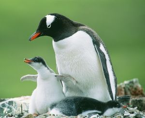 Gentoo PENGUIN - parent with chicks.