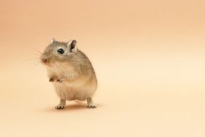 GERBIL - Standing on back legs