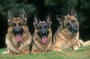 German Shepherd / Alsatian Dogs - Three lying down together
