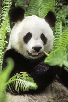 GIANT PANDA - close-up of head