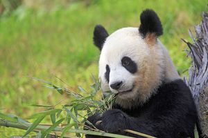 Giant Panda controlled conditions