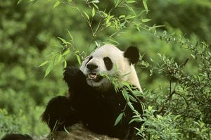 Giant Panda - Feeding on bamboo