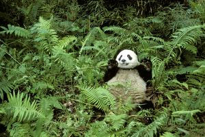 Giant Panda - Feeding on bamboo (Arrow bamboo Gelidocalamus fangianus)