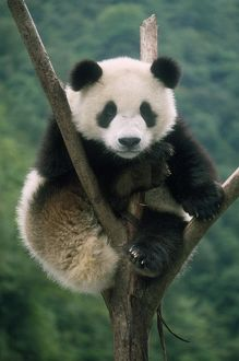 Giant Panda - juvenile sitting in tree fork