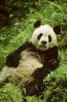 Giant Panda - Lying back in vegetation