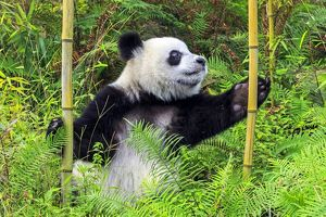Giant Panda playing in bamboo