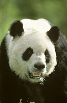 Giant Panda - Portrait