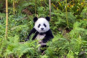 Giant Panda sitting amongst ferns in the forest