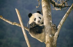 GIANT PANDA - UP TREE