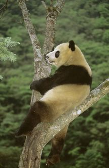 Giant Panda - In tree