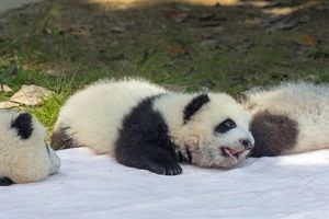 Giant Panda young lying on blanket controlled conditions