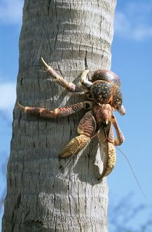 Giant Robber / Coconut Crab